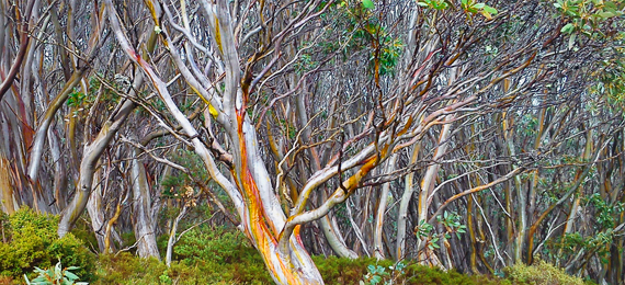 snowgums on Mt Baw Baw
