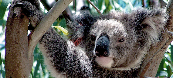 koala relaxing in gum tree