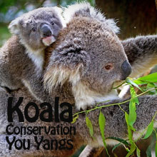 Environmental events - Koala conservation days You Yangs Victoria October November and December 2015