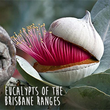 Environmental events - discover the eucalypts of the Brisbane Ranges with Leon Costermans